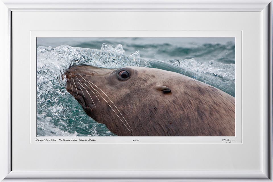 W090723A Playful Sea Lion - Northwest Inian Islands Alaska - shown as 9x16