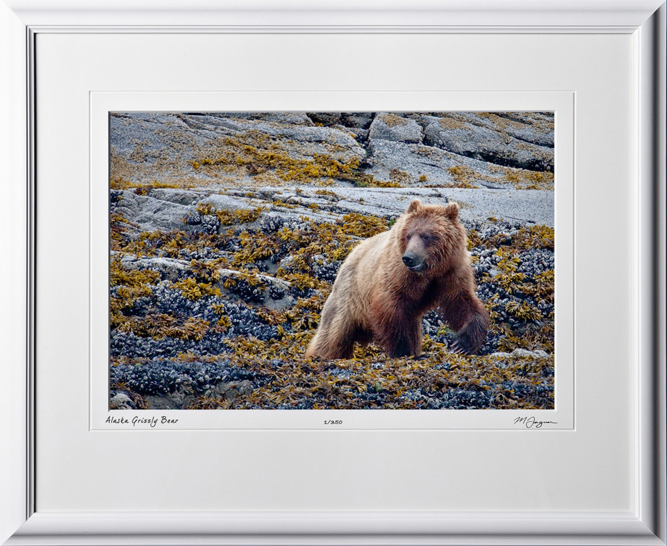 W090724B Grizzly Brown Bear - Glacier Bay Alaska - shown as 12x18