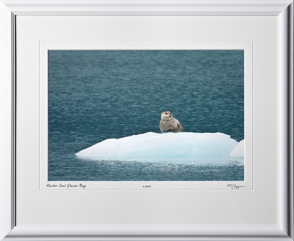 W090724C Harbor Seal - Glacier Bay Alaska - shown as 12x18
