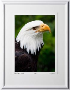 W090726A Bald Eagle Portrait - Alaska - shown as 10x14