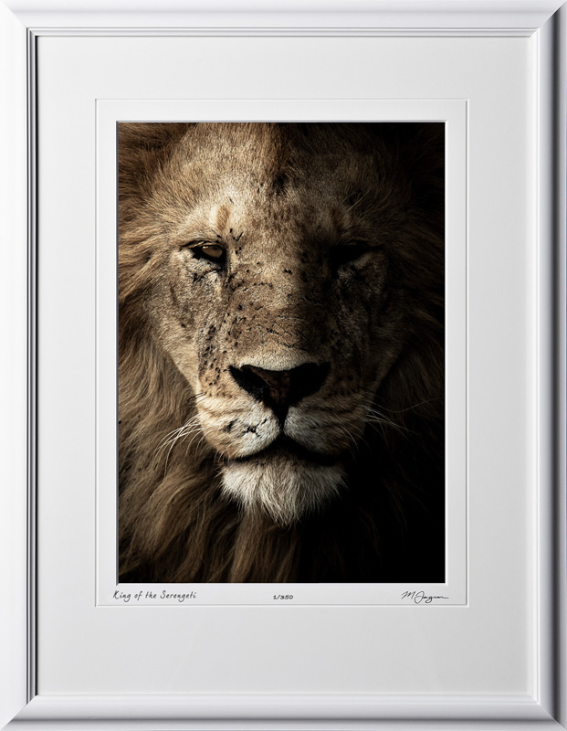 W190828C - King of the Serengeti - shown as 10x14 print in 16x21 frame