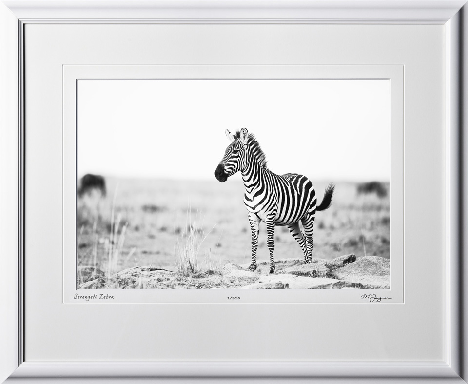 04 W190831A Serengeti Zebra - Africa Fine Art Photo of Zebra in Africa - 12x18 print in 18x25 frame