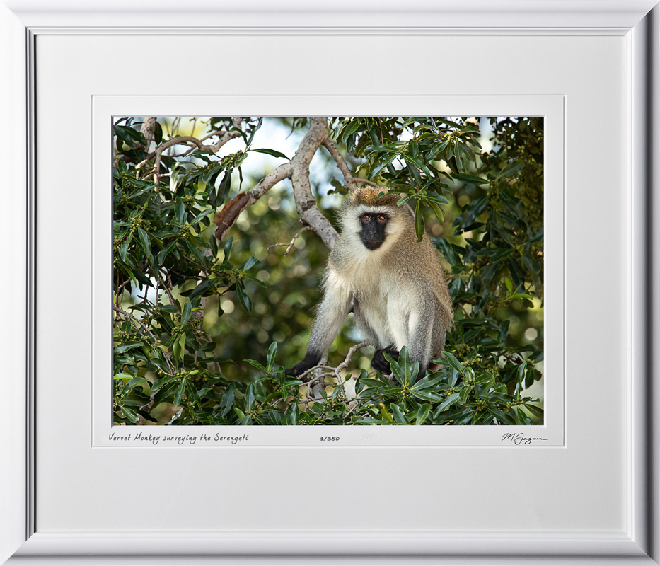 07 W190830C Vervet Monkey surveying the Serengeti - Fine Art photo of monkey in Africa - 10x14 print in 16x21 frame