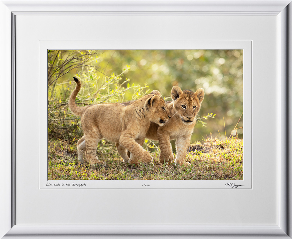 18 W190828B Serengeti Lion Cubs - Africa Fine Art Photo of Lions - 12x18 print in 18x25 frame