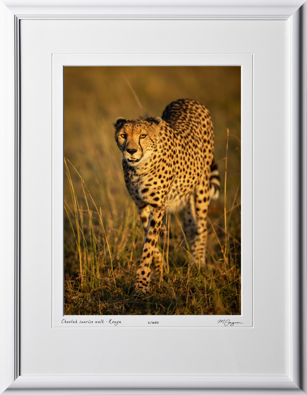 20 W190826E Cheetah sunrise walk - Kenya - Fine Art photo of cheetah in Africa - 10x14 print in 16x21 frame
