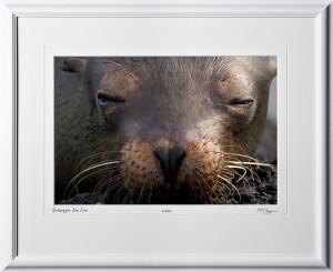 W110511 024 Sea Lion Galapagos - shown as 12x18