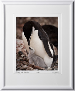 S130110A Motherly Love - Chinstrap Penguins - Antarctica - shown as 11x14