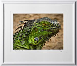 03 W120704 A07 Green Iguana Costa Rica 10x14 Landscape in 17x20 frame
