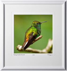 04 W120706 A57 Male Coppery-headed Emerald Humming Bird - 12x12 in 18x19 frame