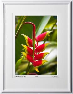 F080404A Hanging Lobster Claw - Big Island Hawaii - shown as 10x14