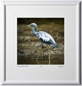 08 W120704 A18 Juvenile Blue Heron Costa Rica 12x12 in 18x19 frame