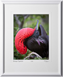 W110508 037 Male Frigate bird Galapagos - shown as 11x14