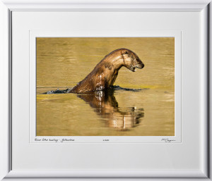 13091931 River Otter hunting - Yellowstone - shown as 10x14