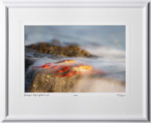 W110509 029 Sally Lightfoot crabs Galapagos - shown as 12x18