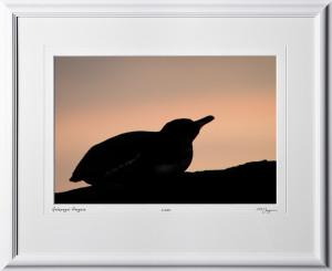 W110510 055 Galapagos Penguin Galapagos - shown as 12x18