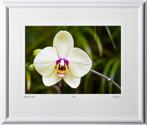 F080404D White Orchid - Big Island Hawaii - shown as 10x14