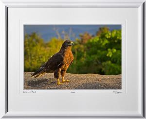 W110510 001 Galapagos Hawk - shown as 12x18