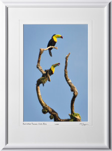 17 W120706 A68 Keel-billed Toucans Costa Rica 12x18 Portrait in 18x25 frame