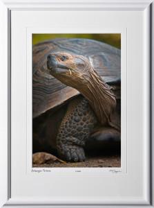 W110510 013 Tortoise Galapagos - shown as 12x18