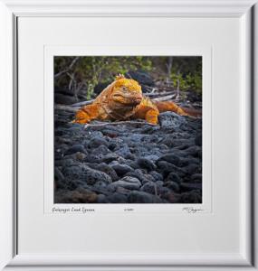 W110510 025 Land Iguana Galapagos - shown as 12x12
