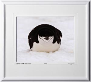 S130110D Penguin Dreams - Chinstrap Penguin - Antarctica - shown as 11x14