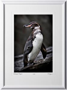 W110510 058 Galapagos Penguin - shown as 12x18