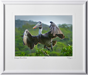 W110511 004 Brown Pelican Galapagos - shown as 10x14