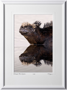 W110511 030 Marine Iguana reflection Galapagos - shown as 12x18