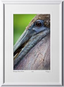 W110512 011 Brown Pelican Galapagos - shown as 12x18