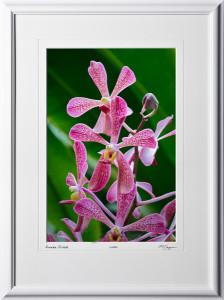 F081113A Aranda Orchid - shown as 12x18