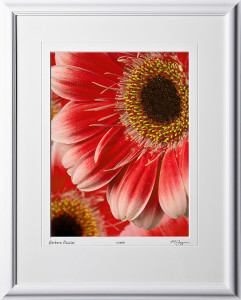 F070417A Gerbera Daisies - shown as 12x16