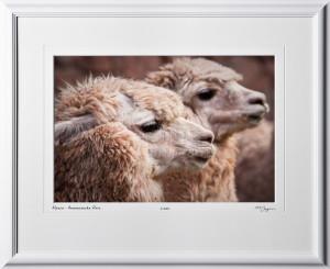 W110515 026 Alpaca - Awanacancha Peru - shown as 12x18