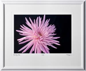 F070513A Pink Fuji Mum - shown as 12x18