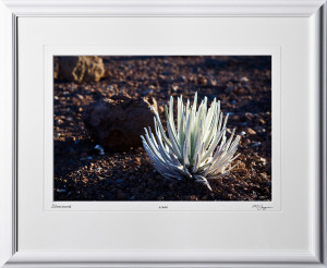 S080407C Silversword - Maui Hawaii - shown as 12x18