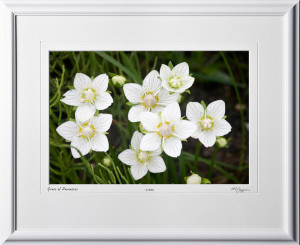 F090716A Denali Grass of Parnassus - Alaska - shown as 12x18