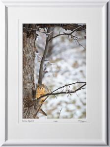 W070117E Curious Squirrel - Michigan - shown as 12x18