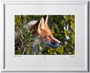 W090717A Red Fox Portrait - Denali Alaska - shown as 12x18