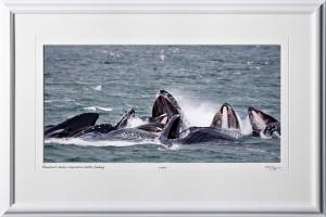 W090722A Humpback whales cooperative bubble net feeding - Alaska - shown as 9x16