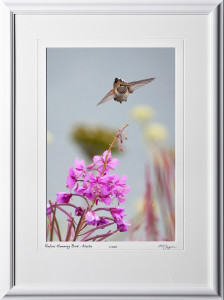 W090722B Rufous Humming Bird - Alaska - shown as 12x18