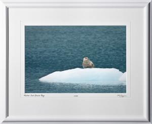 W090724C Harbor Seal - Glacier Bay Alaska - shown as 12x18
