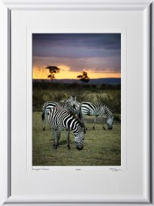 10 W190825A Serengeti Zebras - Africa Fine Art Photo of Zebras - 12x18 print in 18x25 frame