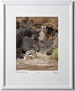 13 W190826C The one that got away - Zebra Crocodile attack - Africa Fine Art Photo of zebras - 11x14 print in 17x21 frame