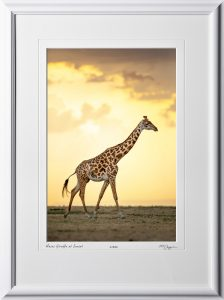 15 W190827A Masai Giraffe at Sunset - Africa Fine Art Photo of Giraffe - 12x18 print in 18x25 frame