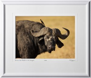 16 W190830B African Cape Buffalo in the Serengeti - Fine Art photo of Cape Buffalo in Africa - 10x14 print in 16x21 frame