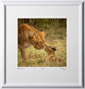 17 W190828A Motherly Love - Africa Fine Art Photo of Lions - 12x12 print in 18x19 frame