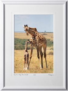 19 W190829A Day One - Baby Masai Giraffe - Africa Fine Art Photo of Giraffes - 12x18 print in 18x25 frame