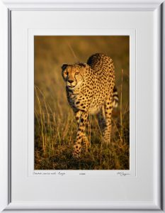 20 W190826E Cheetah sunrise walk - Kenya - Fine Art photo of cheetah in Africa - 10x14 print in 16x21 frame