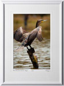 21 W190901A White-Breasted Comorant at Lake Naivasha Kenya - Africa Fine Art Photo of bird - 12x18 print in 18x25 frame