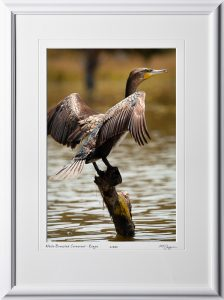 21 W190901A White-Breasted Cormorant at Lake Naivasha Kenya - Africa Fine Art Photo of bird - 12x18 print in 18x25 frame